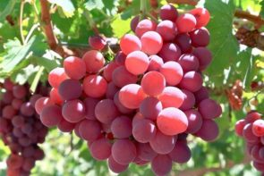 red fame seedless grapes